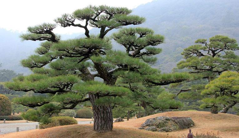 日本松树二.jpg