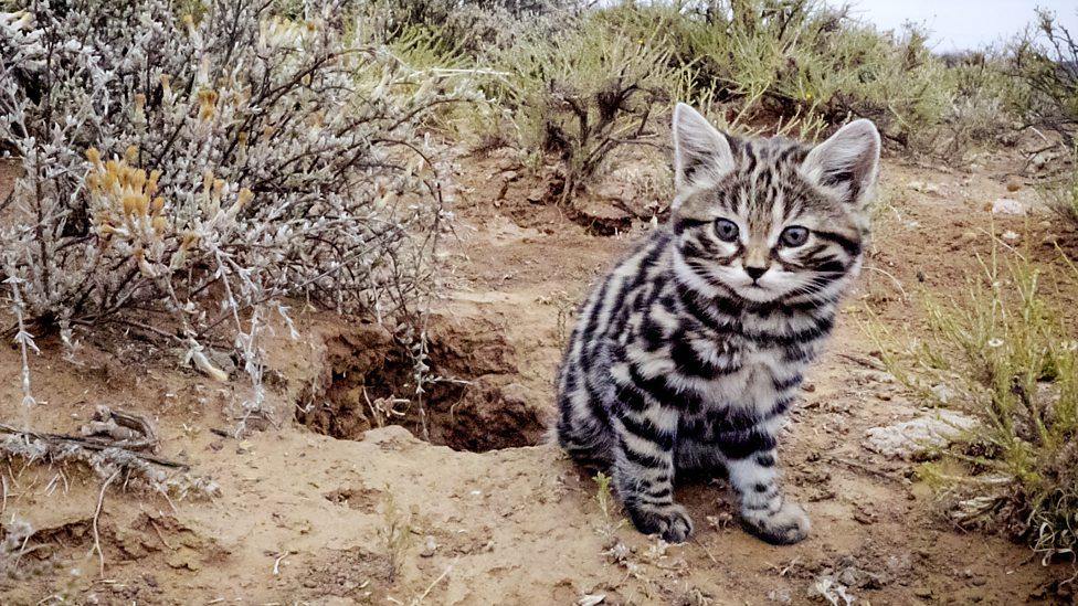 野生猫科动物品种大全