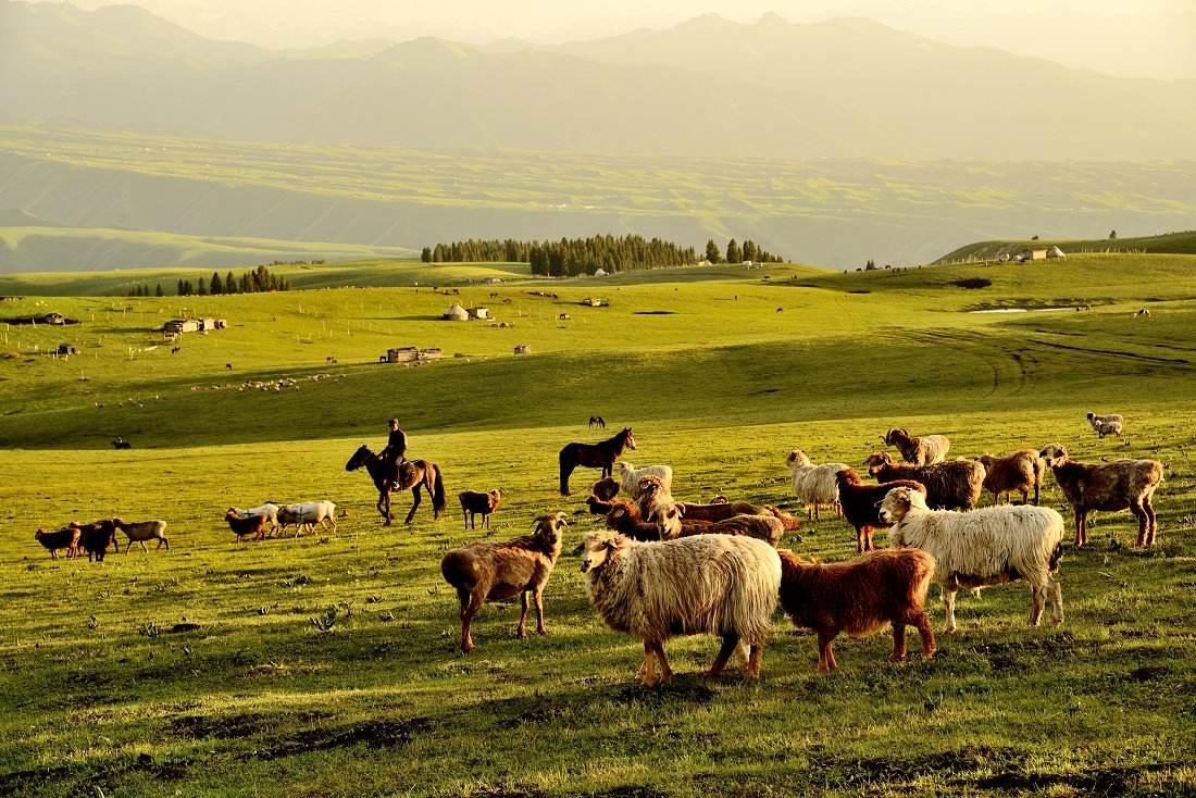 牛羊1.jpg