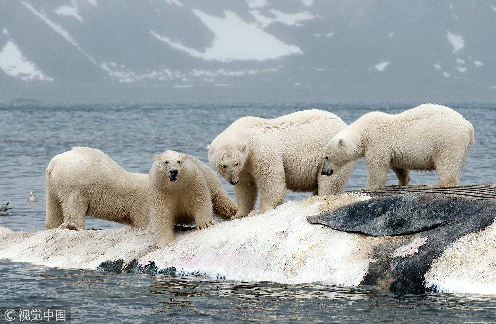 由于限制被活动在冰面,无法待在海豹捕捉兔子,北极熊往往以死鲸为食.怎么烧陆地肉好吃图片