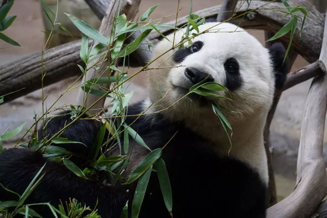 大熊猫.png