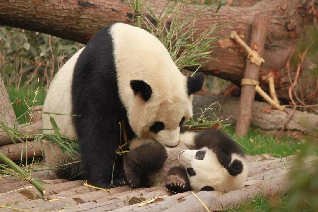 大熊猫2.png