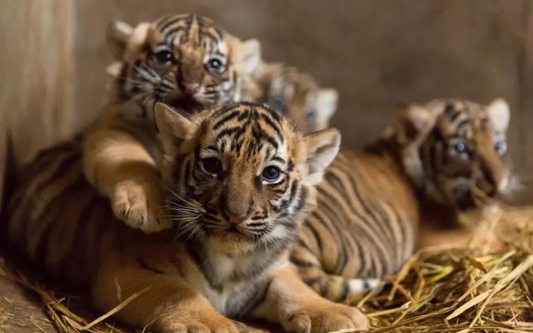 """上海动物园有只""""功勋虎妈"""",连"""