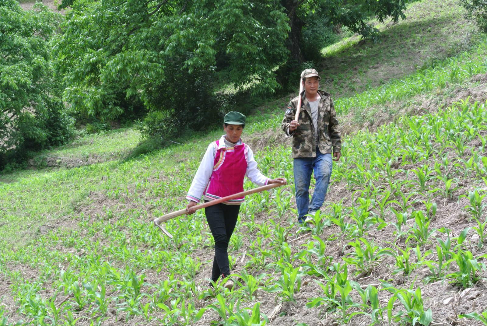 余卫香的父亲余贵山、母亲丰丽群从玉米地劳作归家_meitu_1.jpg