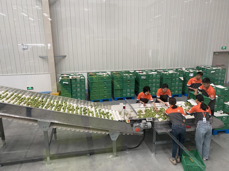 阿里巴巴数字农业广西仓内,多位产业工人正往自动分选线上倾倒水果。.JPG