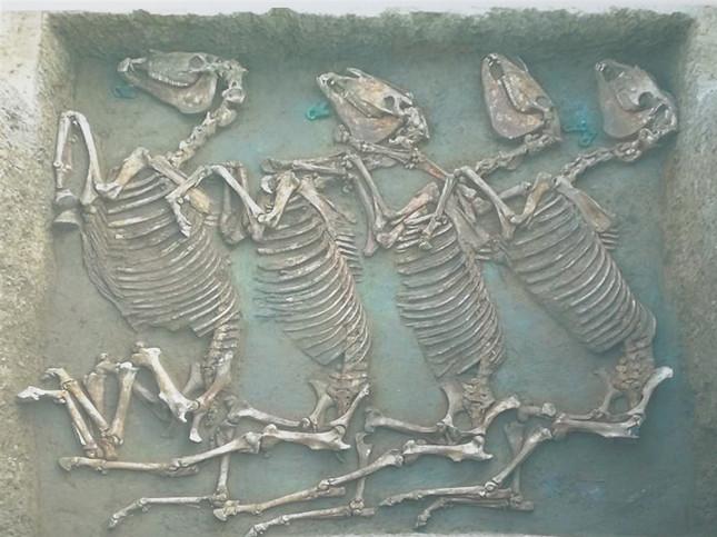 经DNA检测,四匹马为枣红色公马。.jpg