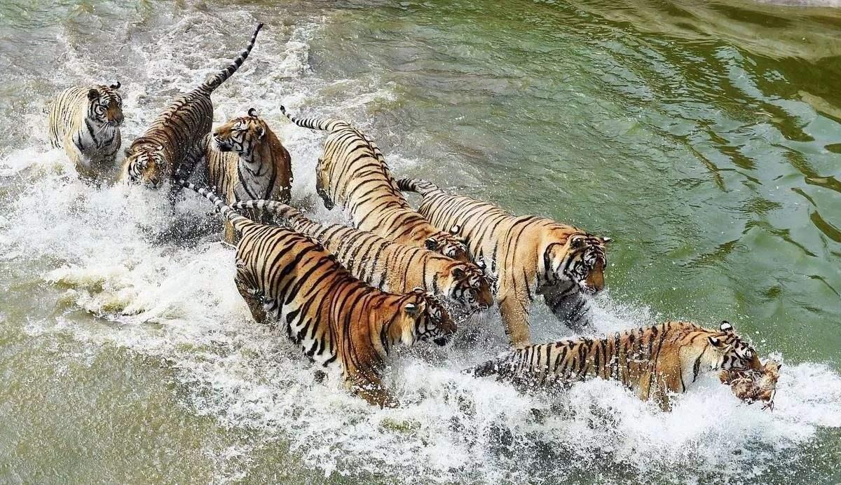 虎豹.jpg